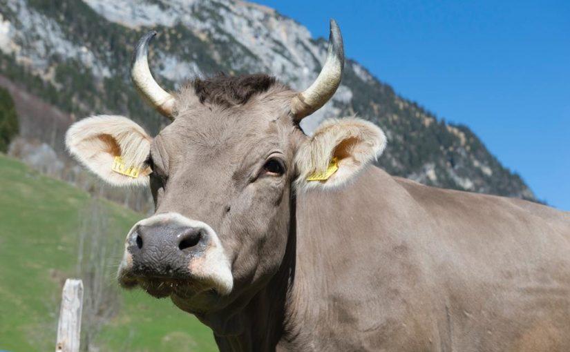 Kühe – mit oder ohne Horn?